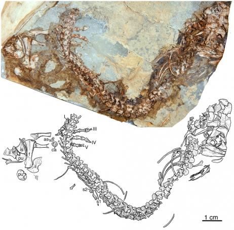 Animaux Préhistoriques:  Découverte de l'Eocasea, plus vieil ancêtre des herbivores
