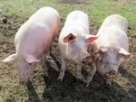 Les trois petits cochons..