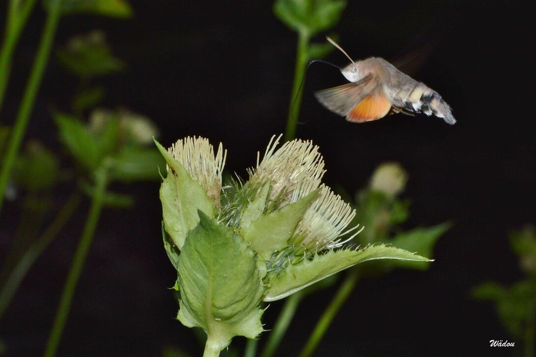 Le Moro-sphinx ou Sphinx colibri ou Sphinx du caille-lait  (Macroglossum stellatarum)  Sphingidae