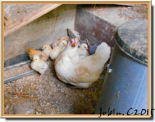Maman poule et ses poussins