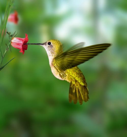 2014 année Colibri : une poésie : l'oiseau et la légende du colibri