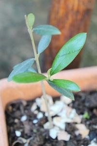 Olivier - Jeune plant