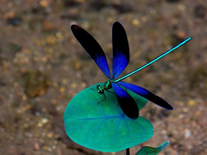 bleu libellule se pose sur la feuille Wallpaper