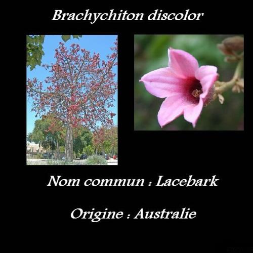 Brachychiton discolor