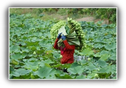 Lotus : La fleur du cœur