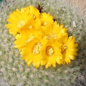 Notocactus Graessneri - Les fleurs