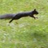 Ecureuil gris pressé