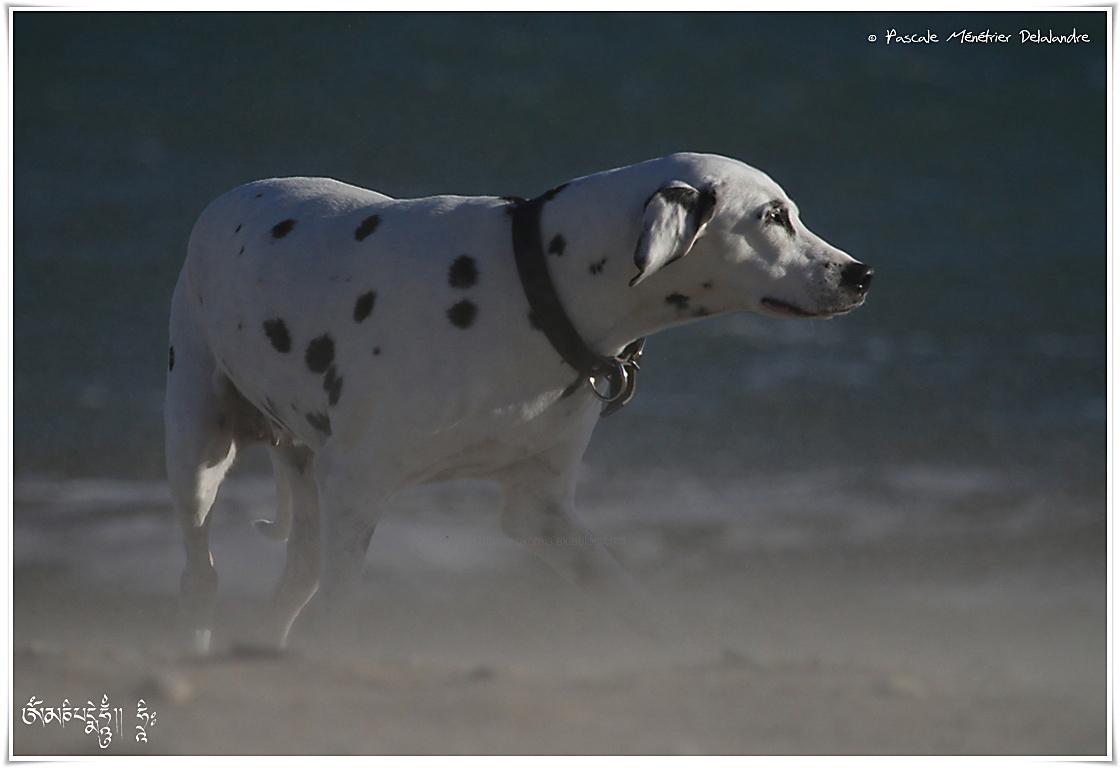 Dalmatienne dans le vent...