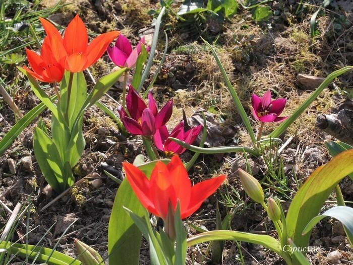 Tulipes 2515