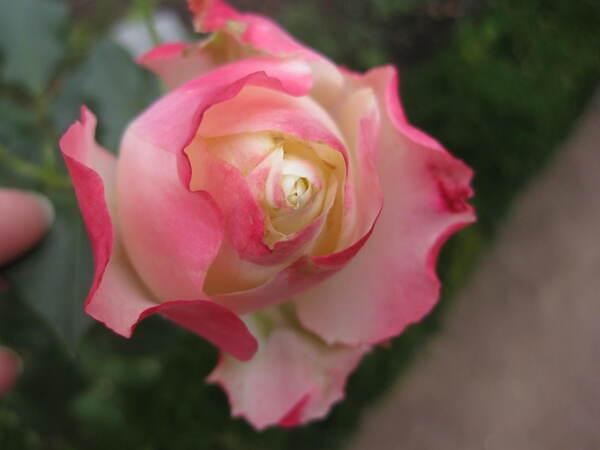 La rose du samedi demandée par Jean Pierre - n° 32
