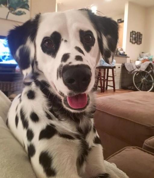 Charlie, le dalmatien aux yeux en forme de coeurs fait craquer près de 30 000 personnes