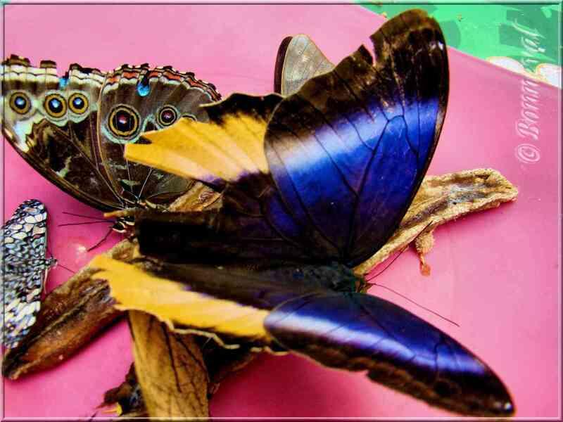 Papillons tropicaux Caligo atreus