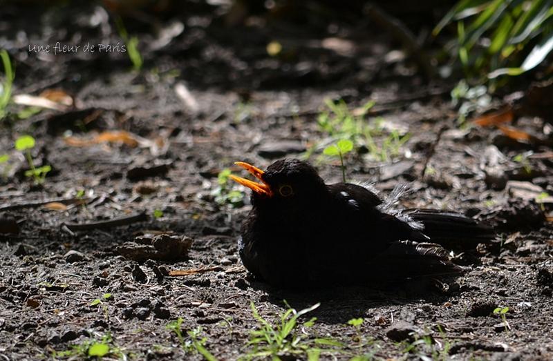 Les oiseaux parisiens : Le Merle noir, familier des hommes