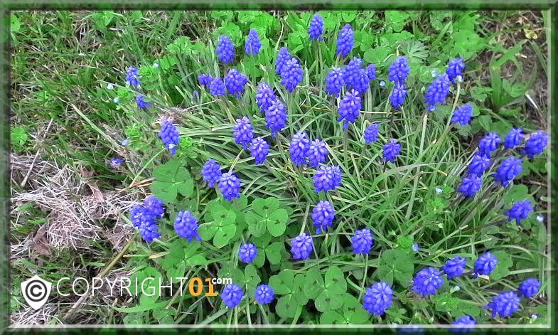 le printemps dans mon jardin,muscaris;jacinthes