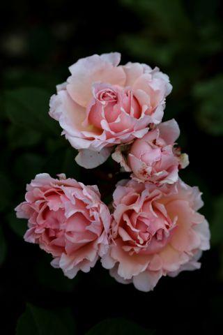Les Roses de Warren : Glimpse