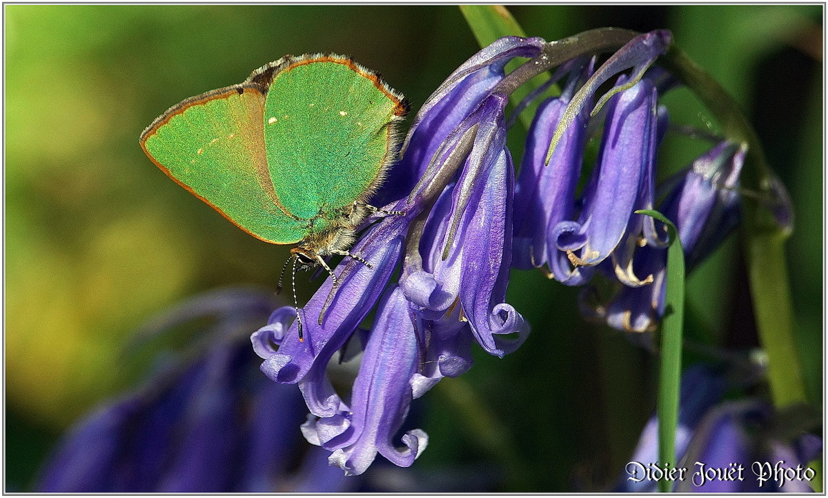 Argus Vert (1) - Callophrys rubi