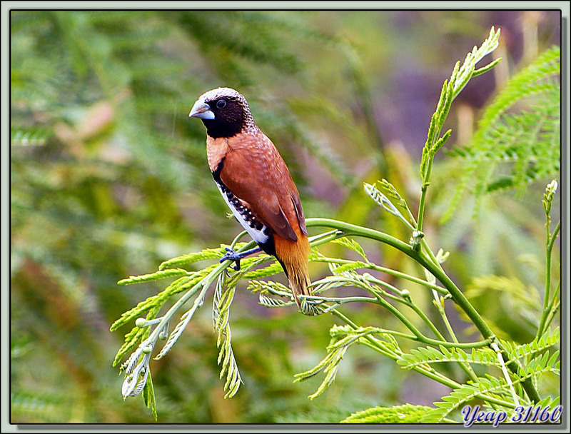 Capucin donacole (Lonchura castaneothorax) - Moorea - Polynésie française