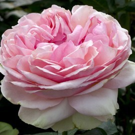 rosa-rosier-feeling-meilland