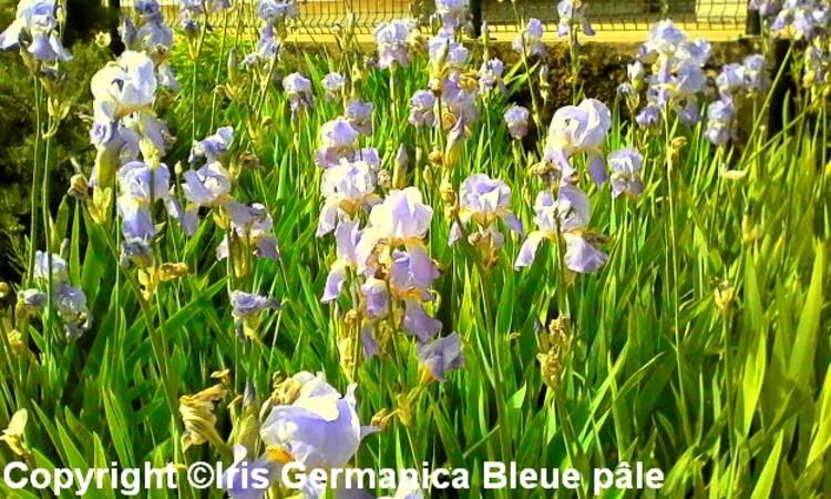 reconnaissance des vègètaux ,Iris Germanica ,une vivace a avoir dans son jardin(conseil de plantation)