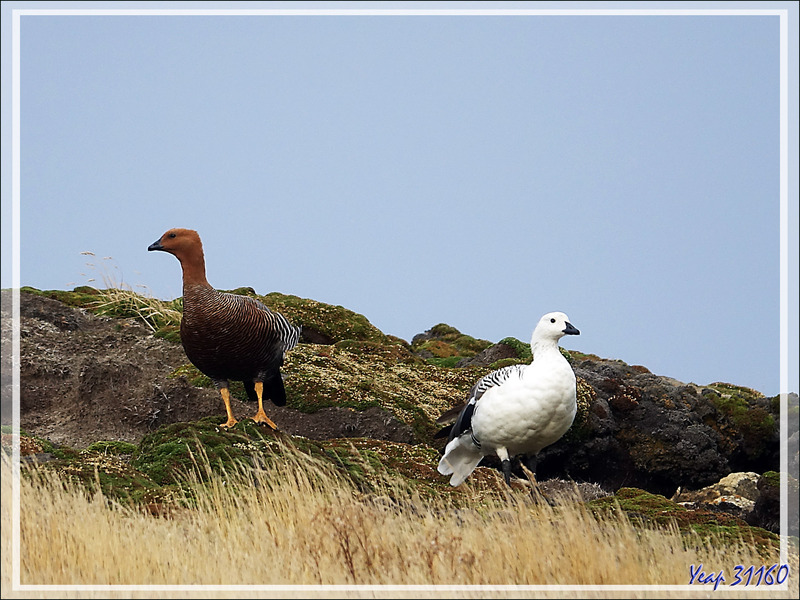 Ouette de Magellan, Upland Goose, Cauquén Común (Chloephaga picta picta) : Madame et Monsieur - New Island - Falkland (Malvinas, Malouines) - Grande-Bretagne