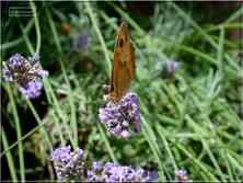 Le Myrtil Maniola jurtina femelle Nymphalidae Gers Midi-Pyrénées
