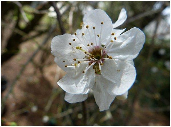 fleurs-d-arbres-fruitires.jpg