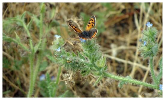 Papillon le cuivré commun