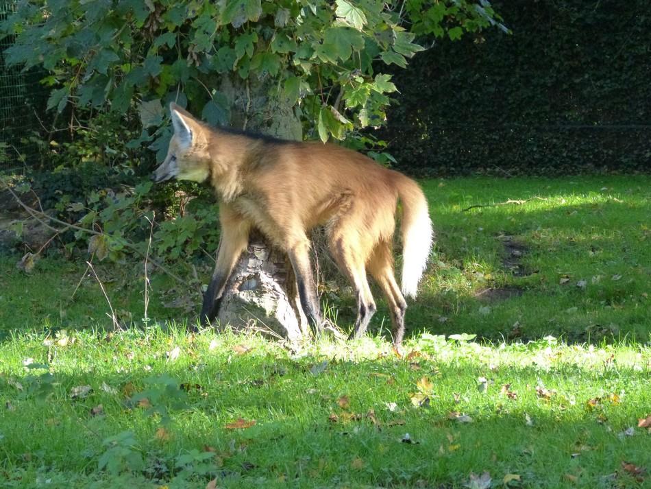 Un loup à Amiens !