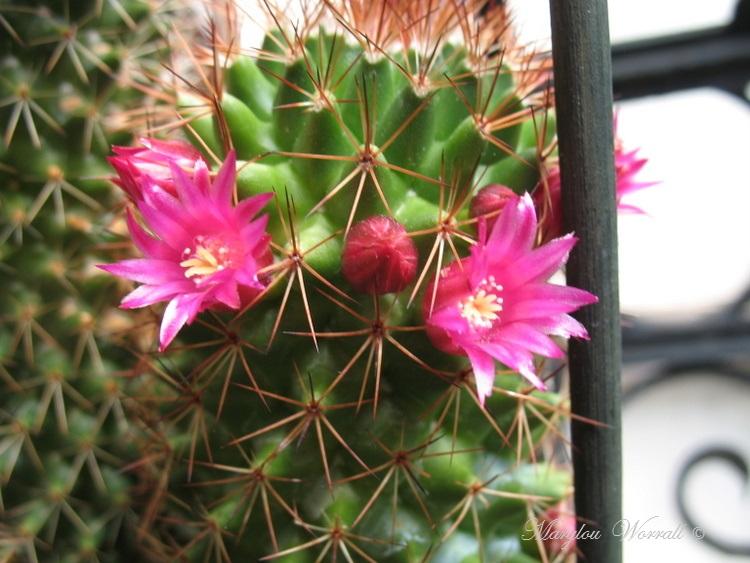 Mon cactus fleurit