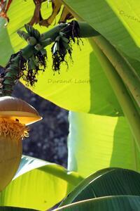 Bananier - Les fleurs