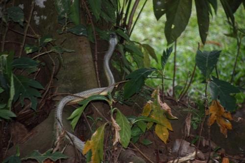 Serpents au Costa Rica