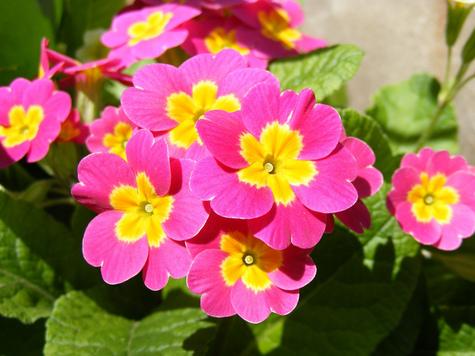 Résultat d'images pour primevère fleur