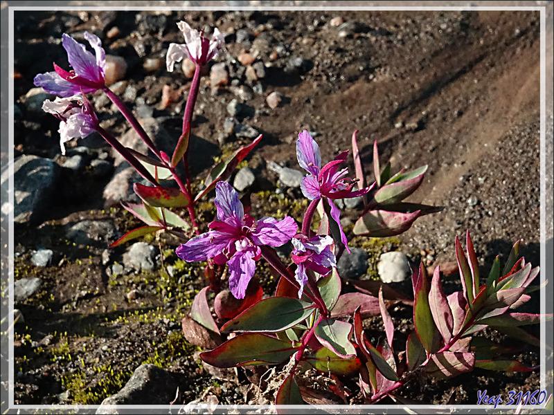 La fleur emblème du Groenland : Épilobe à feuilles larges en période de fructification, Broad-leaf fireweed (Chamerion latifolium) - Karrat Fjord