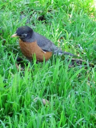 American robin, le rouge-gorge américain