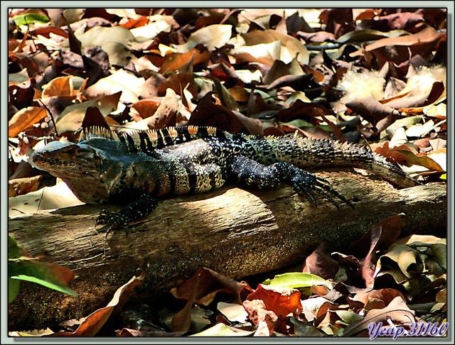 Blog de images-du-pays-des-ours : Images du Pays des Ours (et d'ailleurs ...), Iguane noir (Similis Ctenosaura) femelle + mâle - Plage du Parc National Manuel Antonio - Costa Rica