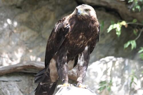 DONJON DES AIGLES - BEAUCENS (65) aigle impérial