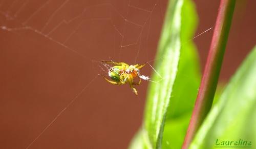 J'ai découvert.. l'araignée pastèque.
