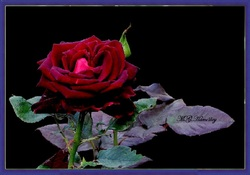 La Rose 'Black Baccara'