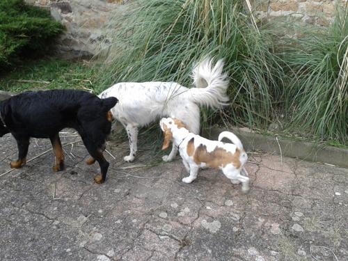 ROUKY - Beagle