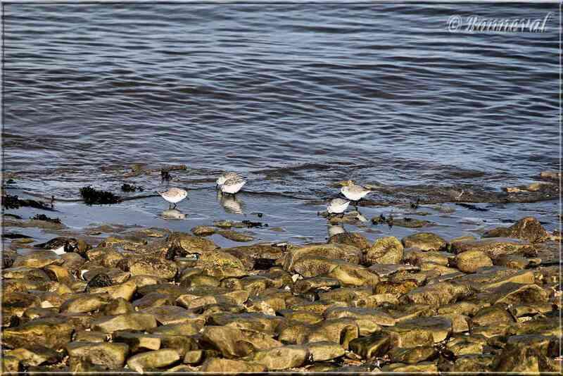 Oiseaux de mer Bécasseau sanderling Ile de Ré