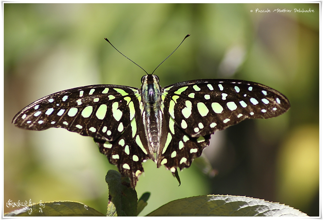 Le Porte-Queue Geai - Graphium Agamemnon - Papilionidae - Philippines