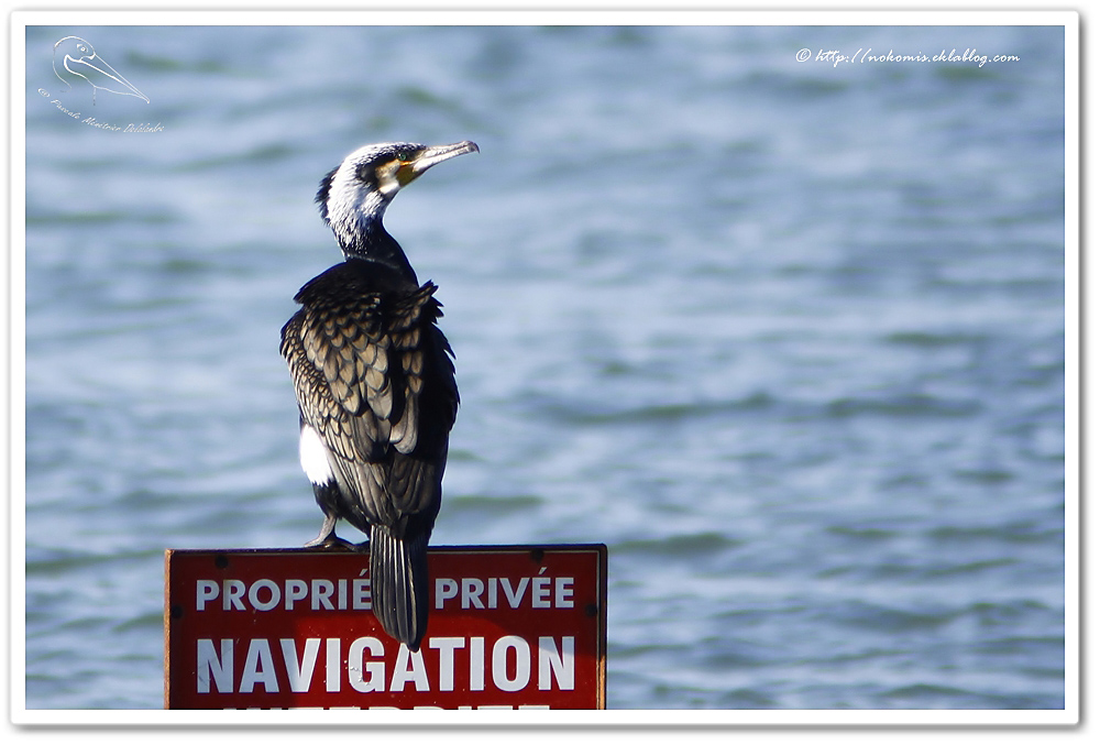 Grand Cormoran - Phalacrocorax carbo