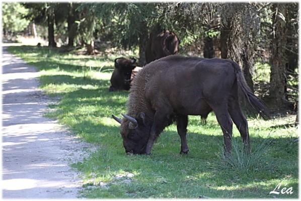 Animaux-2716-petit-bison.jpg