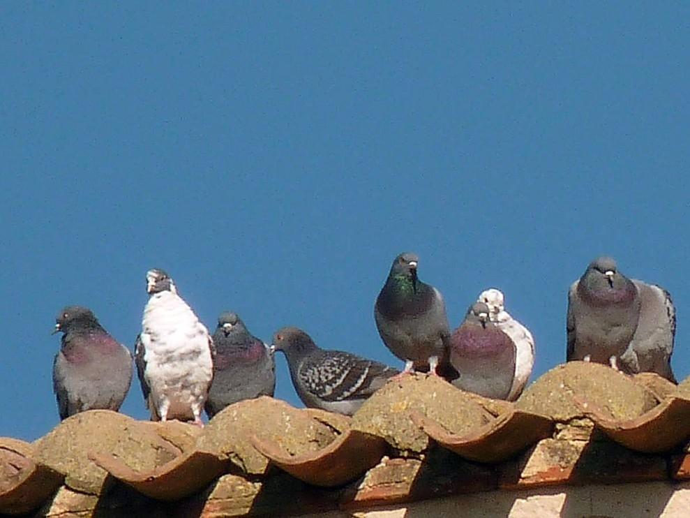 Pigeons-les-spectateurs.jpg
