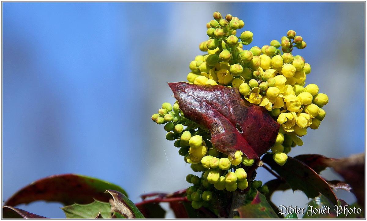 Mahonia à feuilles de Houx (1) - Mahonia aquifolium