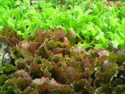Salades plantules