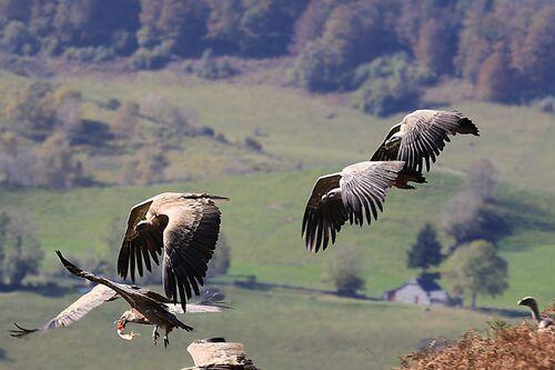 Vautour fauve (Griffon Vulture)