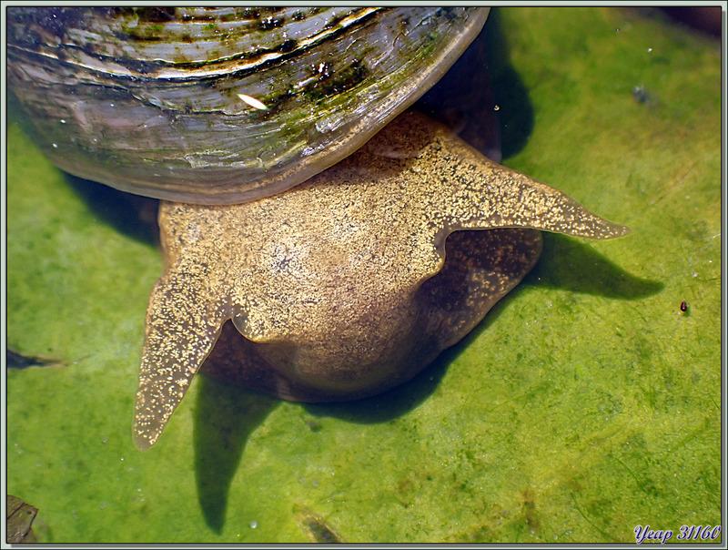 Limnée des étangs, Limnée stagnale, Grande lymnée des étangs, Swamp lymnaea, Great pond snail (Lymnaea stagnalis) - Lartigau - Milhas - 31