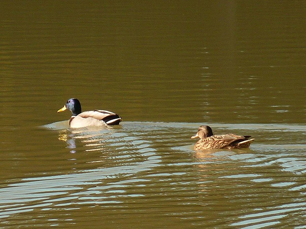 Canards-en-couple.jpg