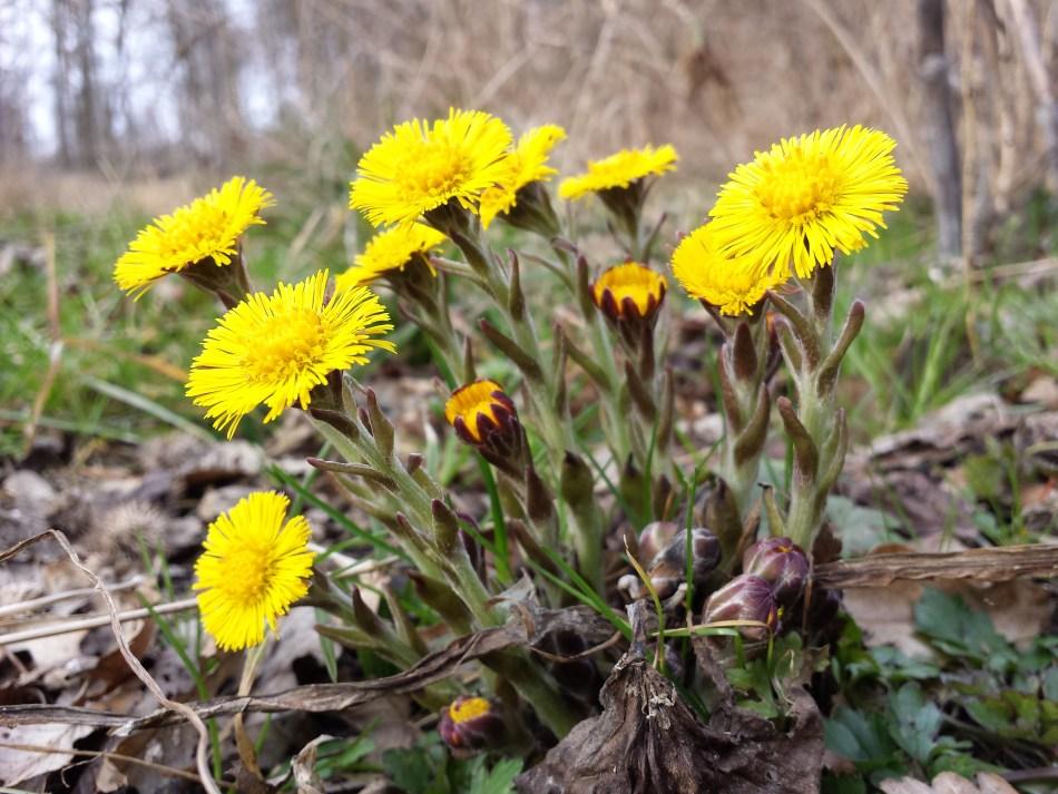 Le tussilage: belle fleur, plante médicinale ou mauvaise herbe? – Jardinier  paresseux